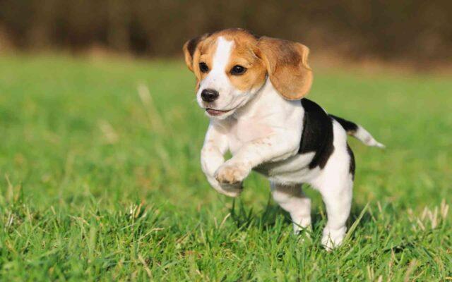 Beagle health
