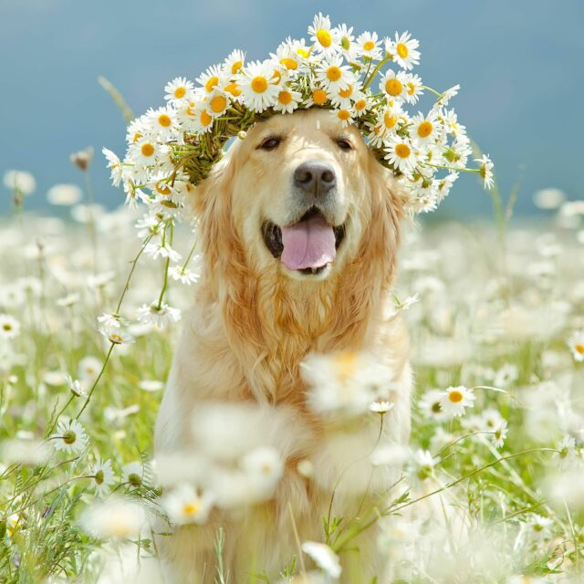 Golden Retriever health