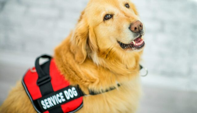 Service Dogs Vet Dogs