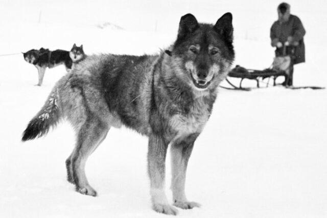 Togo dog in history