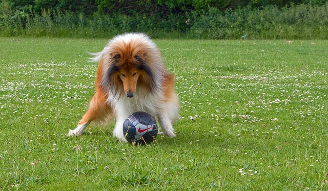 collie soccer exercise