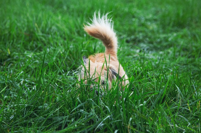 dog hiding in grass activity workout
