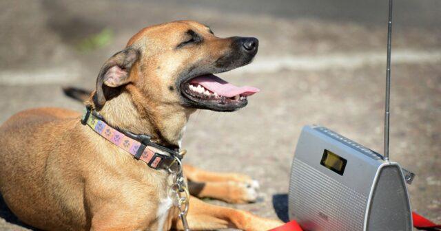dog listening to radio