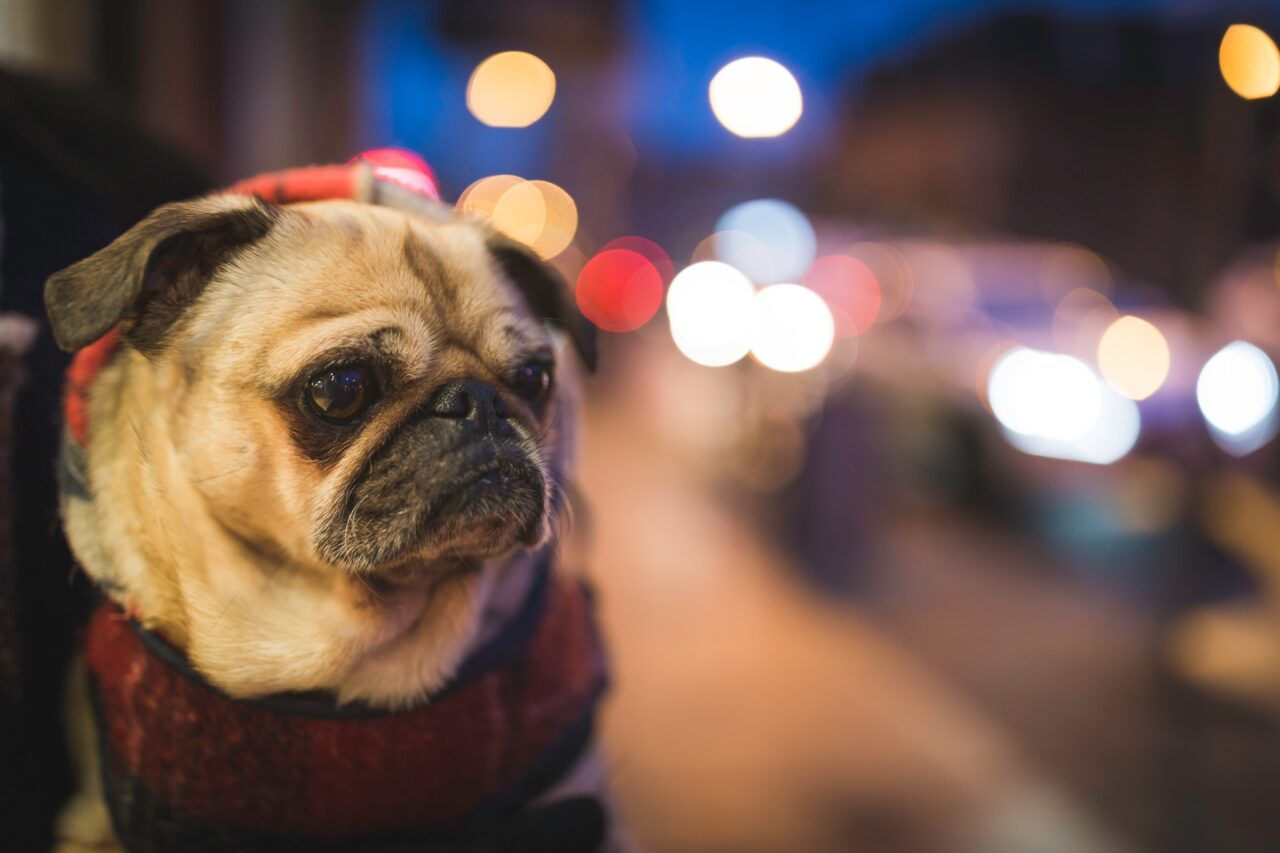 https://ilovemydogsomuch.com/wp-content/uploads/2021/02/dog-with-lights-superstar-1280x853.jpg