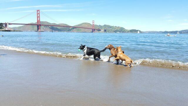 dogs in crissy field san francisco