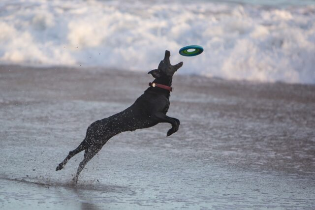 playing catch with dogs