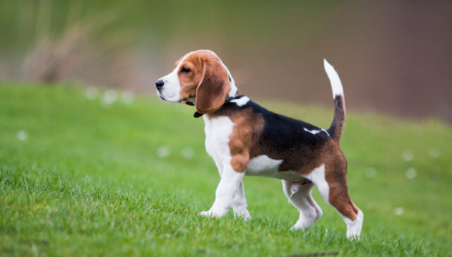 Beagle Dog Remembrance