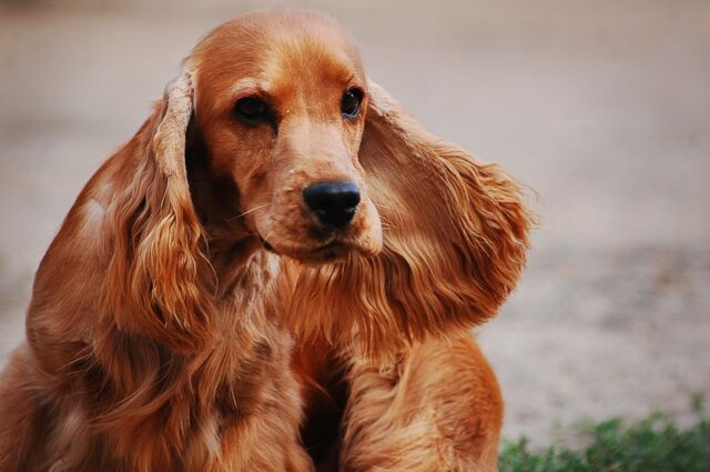 Cocker Spaniel Dog Remembrance