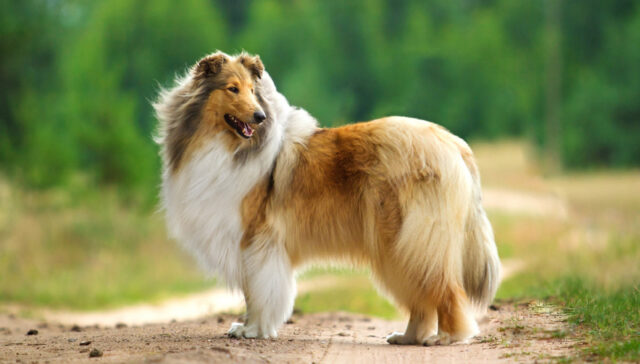 Collie Dog Remembrance