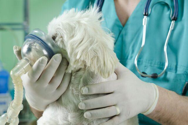 Dog Respiratory Distress Dog Health