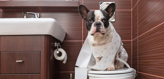 Dog on toilet covered by tissue Dog health