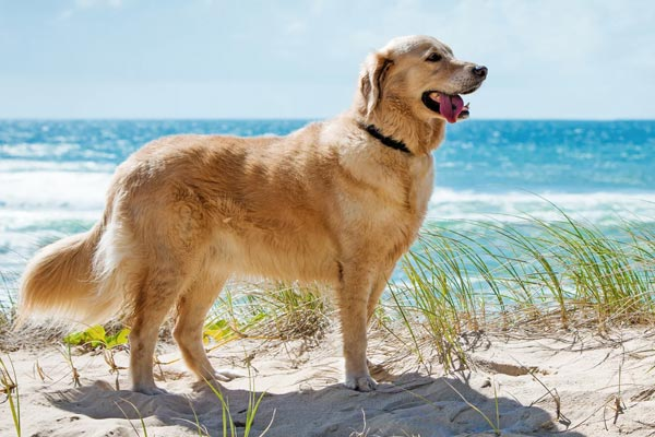 Golden Retriever Dog Remembrance