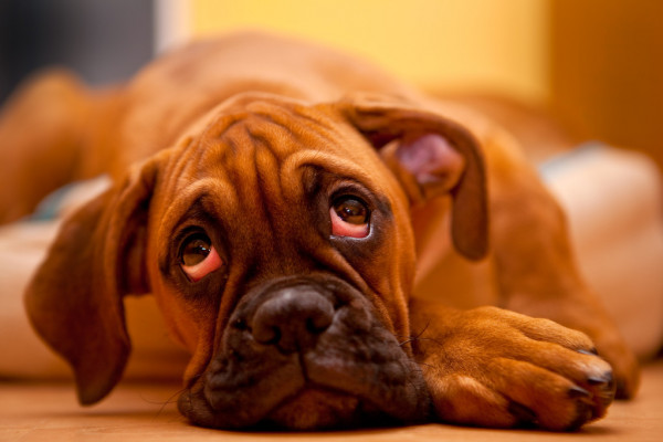 Loss of Appetite Dog Health