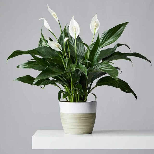 Peace Lily good for dogs