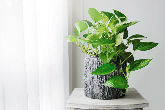 Pothos good for dogs