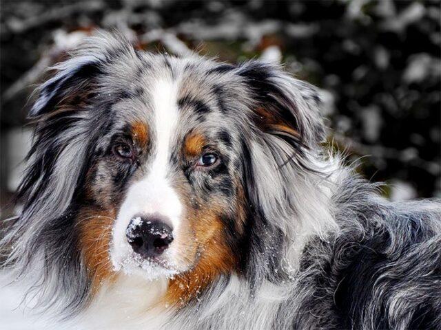 https://ilovemydogsomuch.com/wp-content/uploads/2021/03/SAGITTARIUS_Australian-Shepherd.jpg