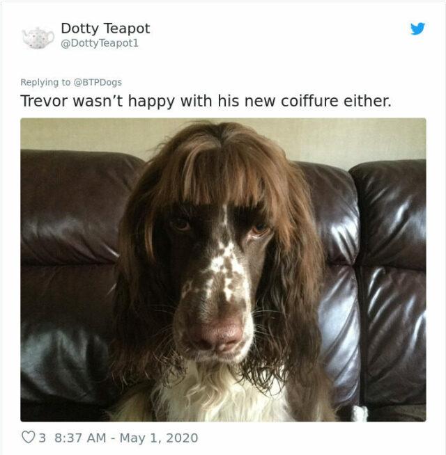 dog groom fail cocker spaniel