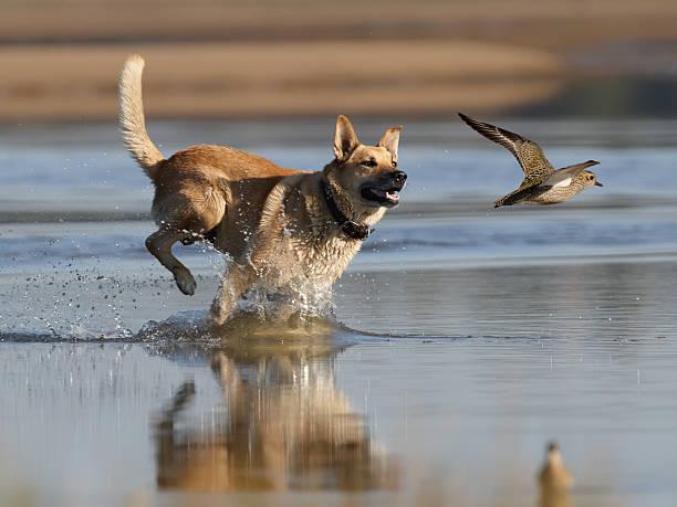 dog in a beach chasing a bird