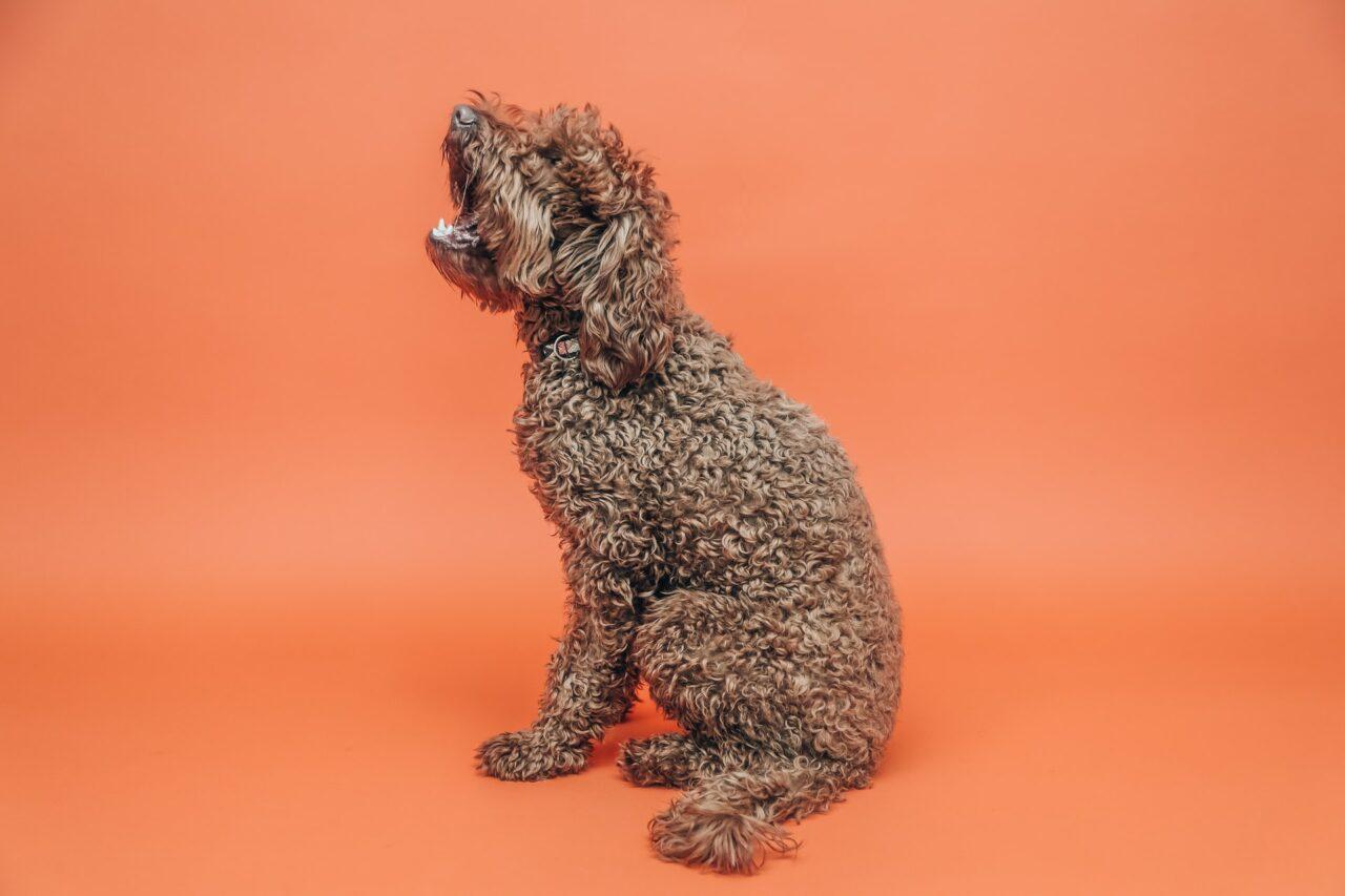 https://ilovemydogsomuch.com/wp-content/uploads/2021/03/dog-orange-bg-rare-dog-breeds-1280x853.jpg