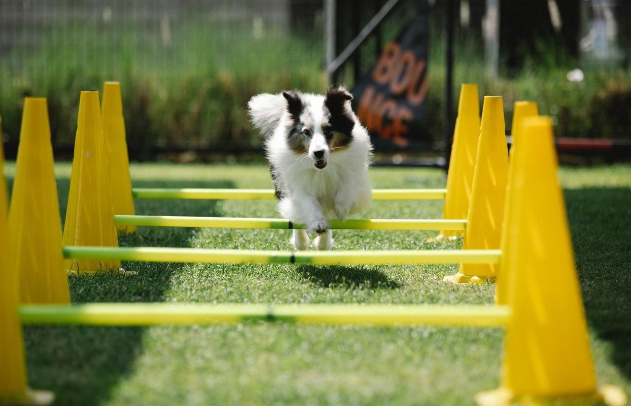 https://ilovemydogsomuch.com/wp-content/uploads/2021/03/dog-sports-dog-jumping-bars.jpg