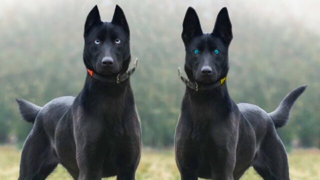 most rare dog breeds