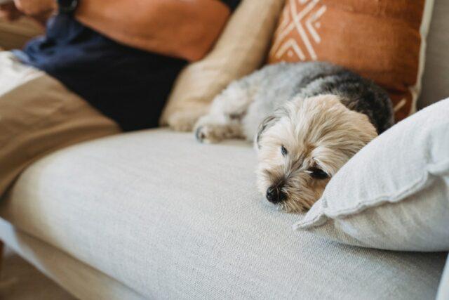 sad sick dog on sofa