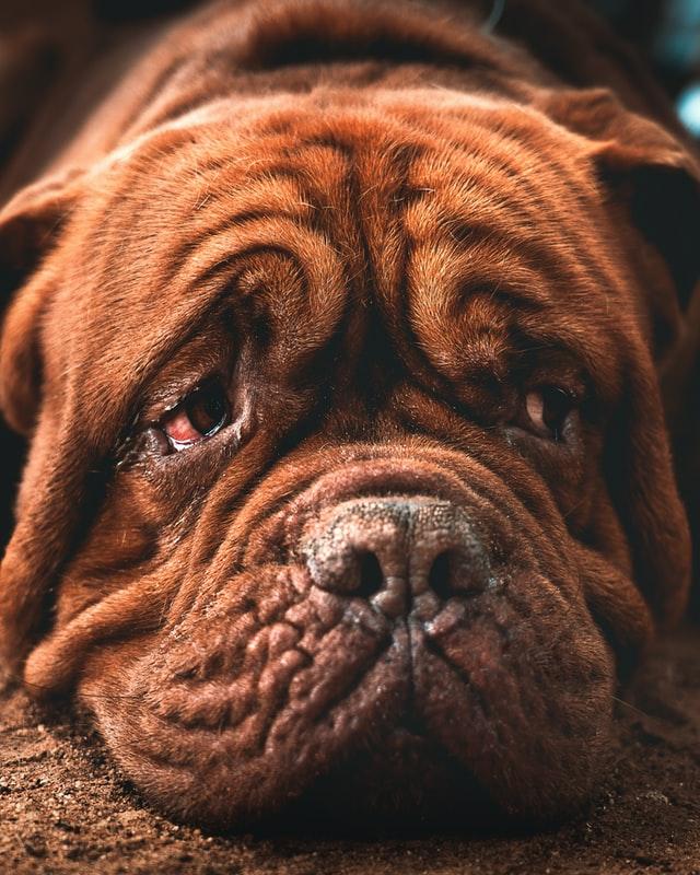 dog cry tears