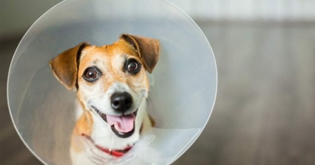dog in cone protector
