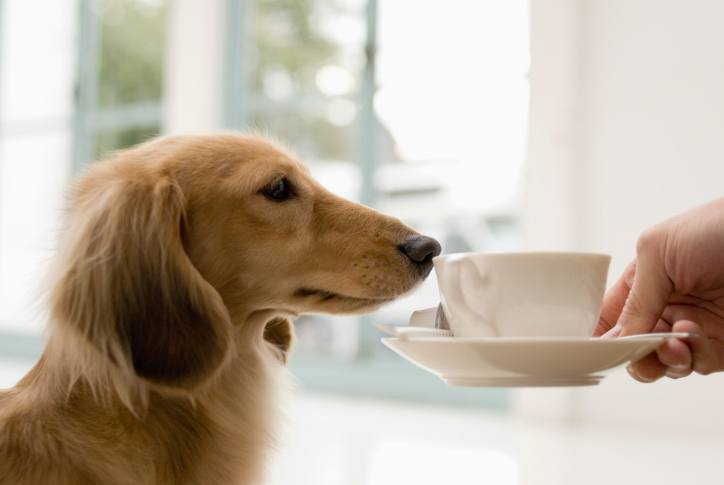 dog sniffing coffee