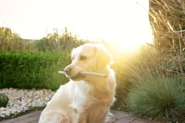 heat stroke in dogs sunny