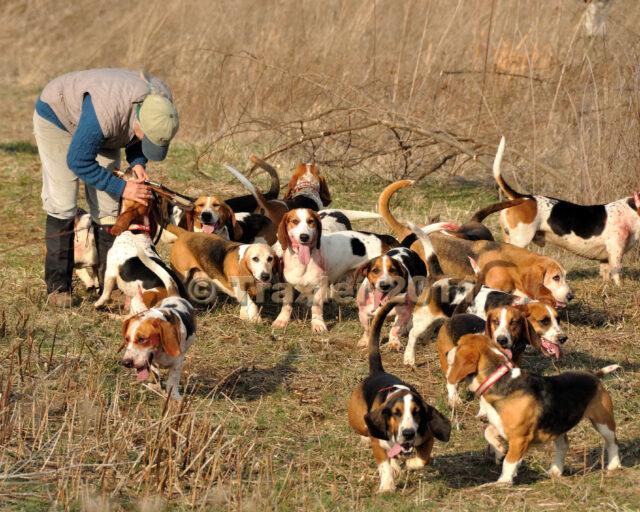 beagle pack hunting