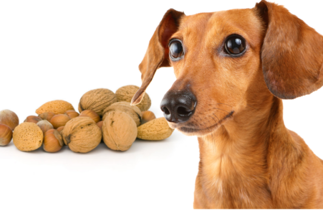 can dogs eat nuts dangerous items for dogs