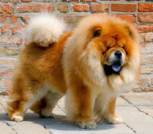 expensive dog breed chow chow