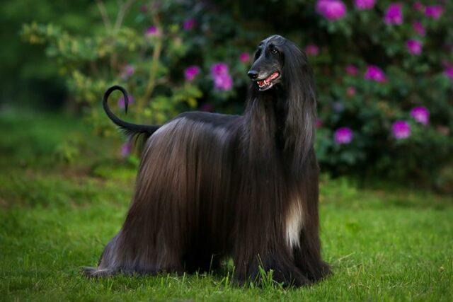 expensive dog breeds Afghan Hound
