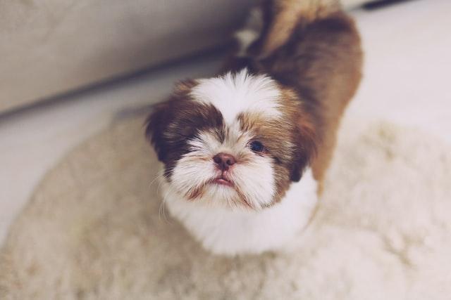 royal dog breeds shih tzu