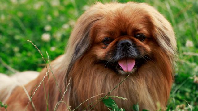 royal family dog breeds Japanese Chins