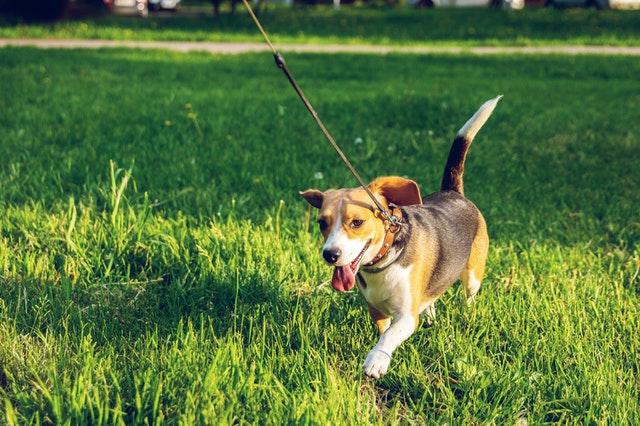 unhappy dog pacing