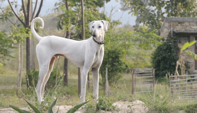 Chippiparai dog breeds