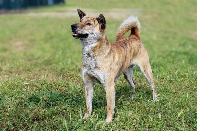 Jindo dog breed