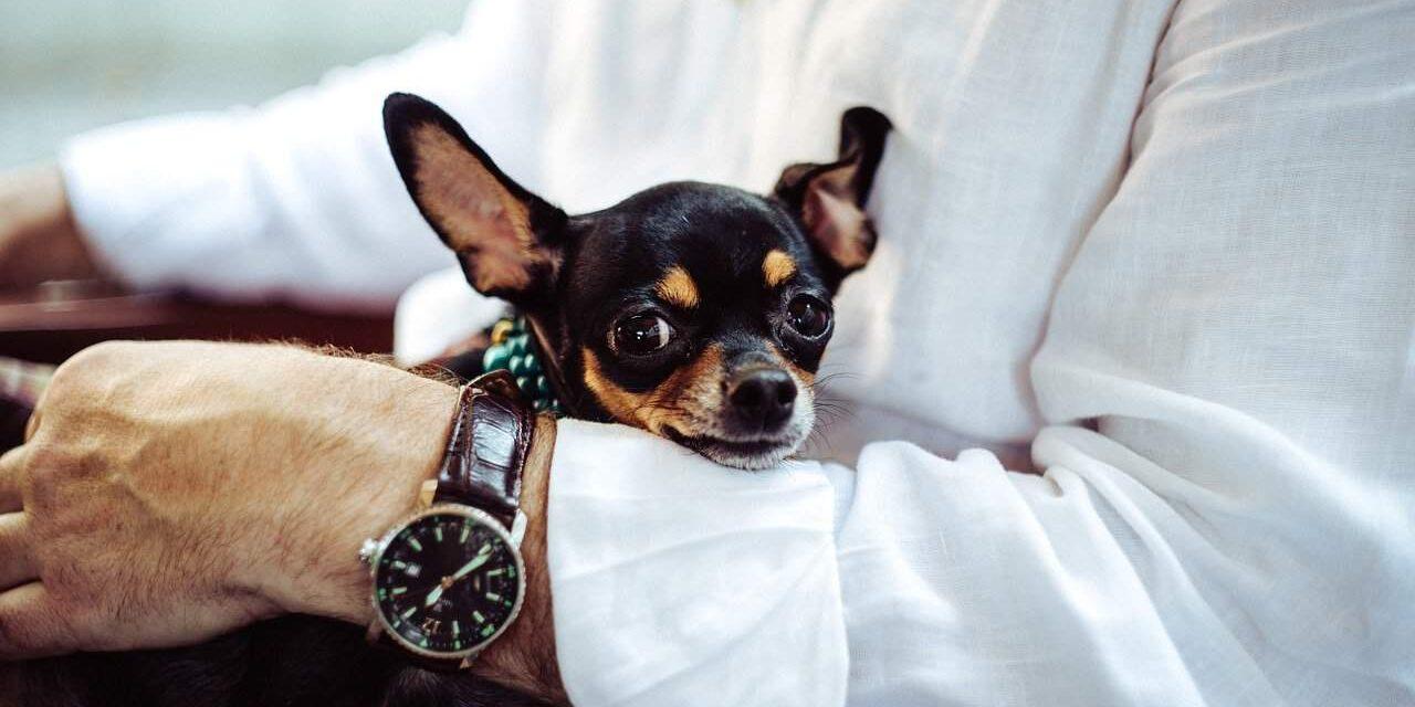 https://ilovemydogsomuch.com/wp-content/uploads/2021/06/chihuahua-1280x640.jpg