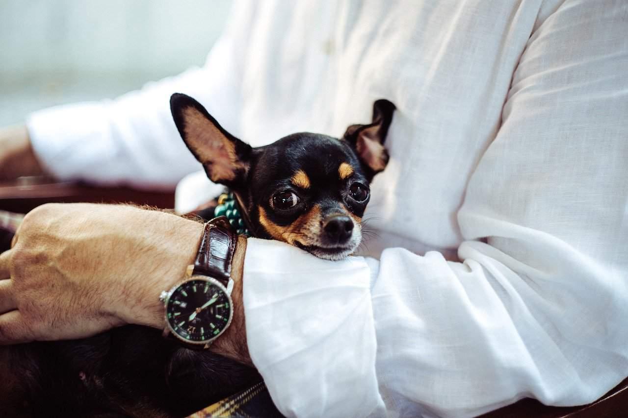 https://ilovemydogsomuch.com/wp-content/uploads/2021/06/chihuahua.jpg