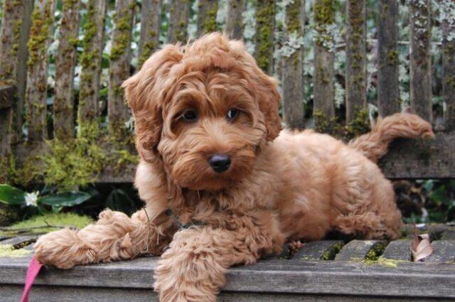different dog breeds australian cobberdog