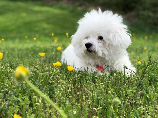 different dog breeds bichon frise