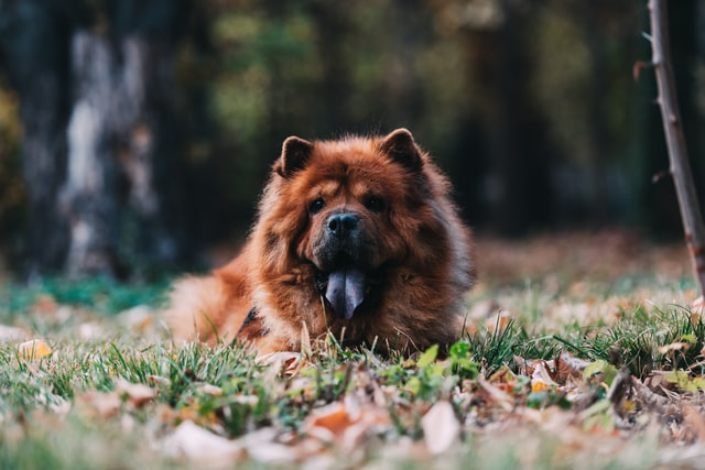 different dog breeds chow chow