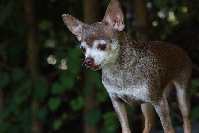 dog breed characteristics chihuahua