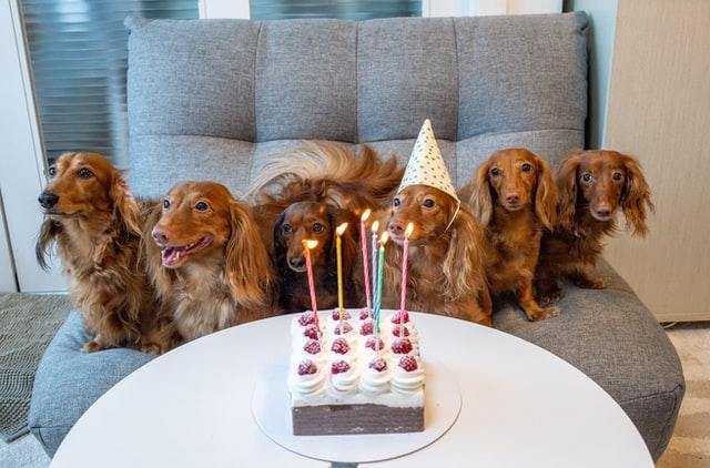 dog breed characteristics dachshund