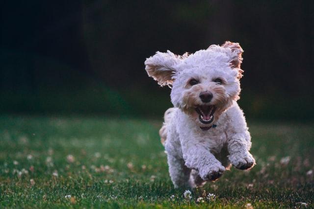 dog breed europe poodle