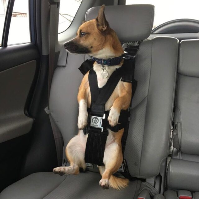 dog car harness for traveling