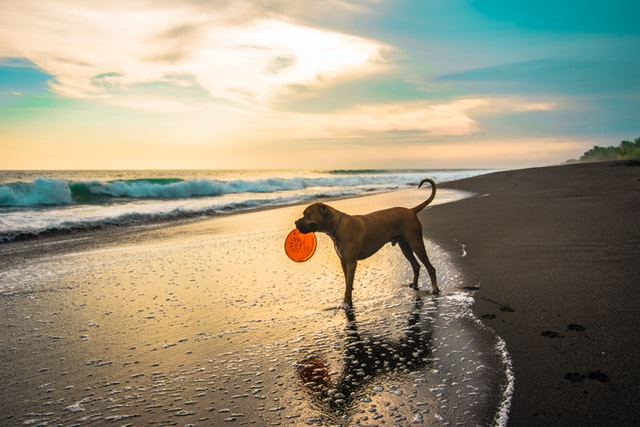dog on beach sunset frisbee