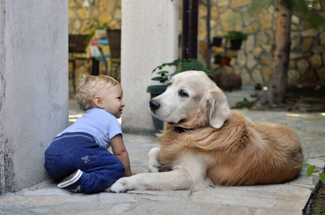 dog personality golden retriever and baby